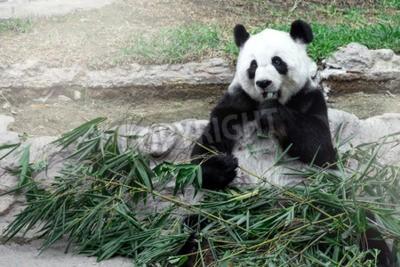 Papiers peints Lovely panda manger du bambou
