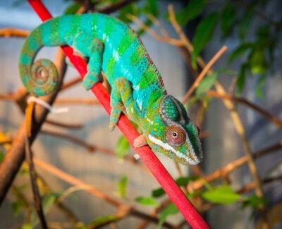 Papiers peints Lumineux, coloré, caméléon, séance, branche