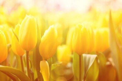 Papiers peints Lumineux, floral, fond, jaune, tulipes, soleil, lumière, effet