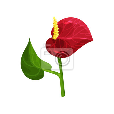 Magnifique Fleur Tropicale Anthurium Avec Petale Rouge Et Feuille