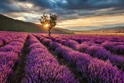 Papiers peints Magnifique paysage avec un champ de lavande au lever du soleil