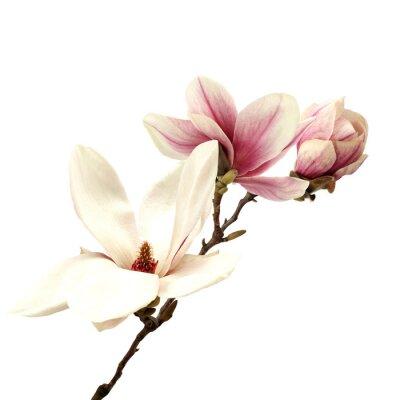 Papiers peints magnolia