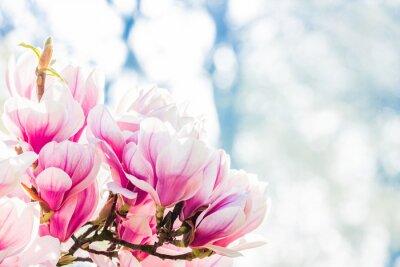 Papiers peints magnolia à fleurs roses