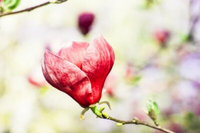 Papiers peints Magnolia, arbre, fleur