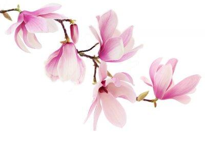 Papiers peints Magnolia de printemps les fleurs roses branche