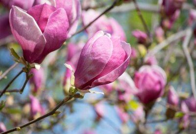 Papiers peints Magnolia fleurs