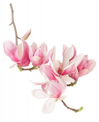 Papiers peints Magnolia, le printemps rose branche de fleurs et de bourgeons sur blanc, chemin de détourage