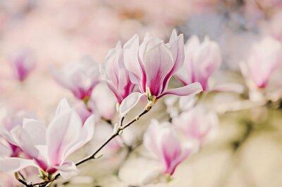 Papiers peints Magnolienblüten
