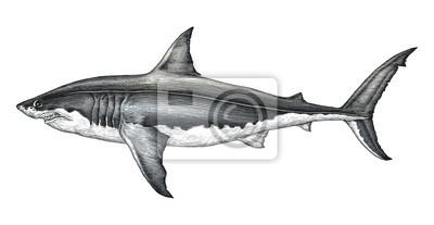 Main de grand requin blanc dessin illustration de gravure vintage papier peint papiers peints - Dessin de grand requin blanc ...