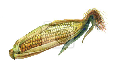 Maïs, maïs. Main, tiré, aquarelle, peinture, blanc, fond