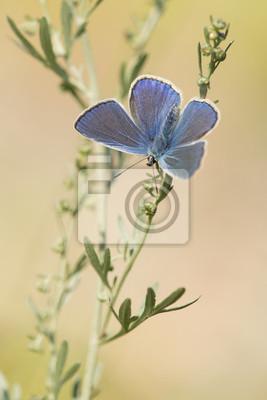 Mâle, bleu, icarus, papillon, pendre, ailes, ouvert, herbe