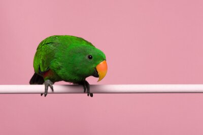 Male green eclectus parrot on a pink background with space for copy