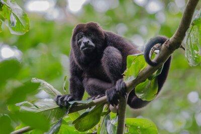Mâle, hurleur, singe, reposer, arbre, entouré, vert, feuilles