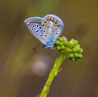 Papiers peints Mariposa azul en la flor