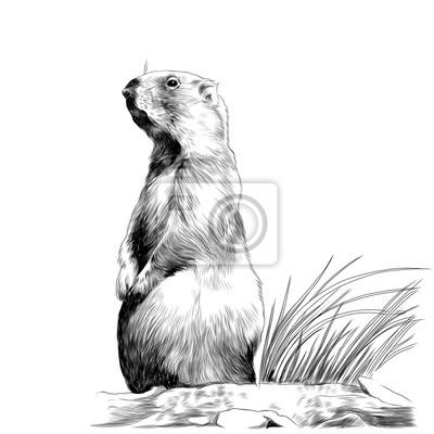 Marmotte Ecureuil Ecureuil Esquisser Des Graphiques Vectoriels