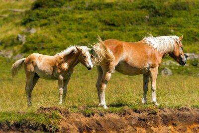 Papiers peints Marron et Blanc Mare avec Poulain / Marron et cheval blanc avec poulain en montagne. Parc national d'Adamello Brenta, Trentin Haut-Adige, Italie