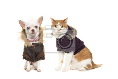 Mignon, adulte, rouge, blanc, chat, chihuahua, chien, deux, séance, faire face, appareil-photo, Porter, hiver, manteau, isolé, blanc, fond