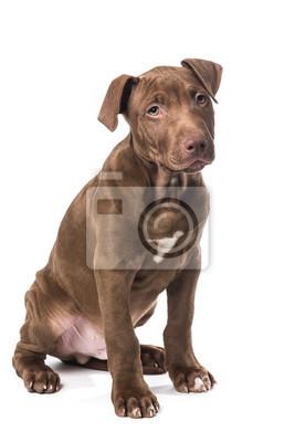Mignon assis chiot pitbull brun au fond blanc