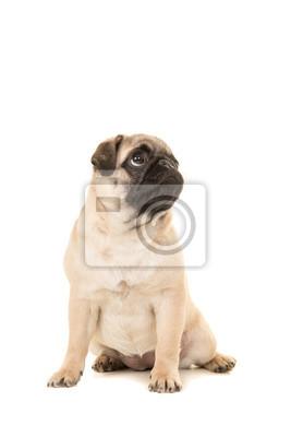Mignon, assis, jeune, pug, chien, regarder, haut, isolé, blanc, fond