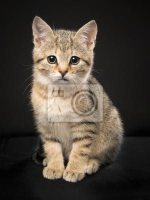 Mignon assis tabby bébé chat en regardant la caméra sur un fond noir