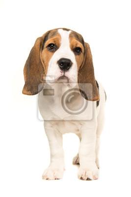 Mignon, beagle, chiot, chien, debout, faire face, appareil-photo, isolé, blanc, fond