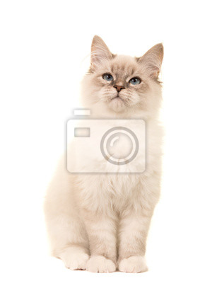 Mignon, birman, chaton, chat, séance, regarder, isolé, blanc, fond