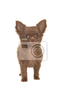 Mignon, brun, debout, chihuahua, Chiot, isolé, blanc, fond