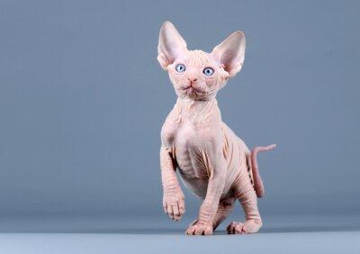 Papiers peints Mignon chaton sphynx
