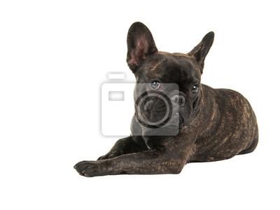 Mignon chien de bouledogue français couché isolé au fond blanc