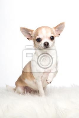 Mignon, chihuahua, chien, séance, sien, patte, élevé, blanc, fourrure, blanc, fond