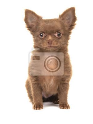Mignon, Chihuahua, chiot, chien, séance, isolé, blanc, fond