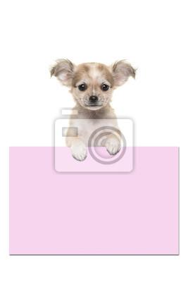 Mignon, chihuahua, chiot, chien, tenue, rose, papier, planche, salle, texte, blanc, fond