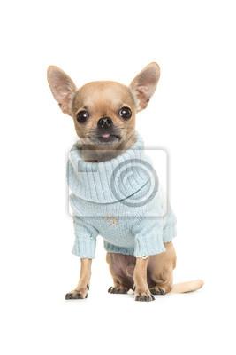 Mignon, chihuahua, chiot, séance, devant, appareil photo, Porter, bleu, tricoté, chandail, isolé, blanc, fond