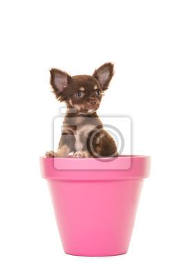 Mignon chiot chihuahua chien assis dans un pot de fleurs rose isolé sur un fond blanc regardant