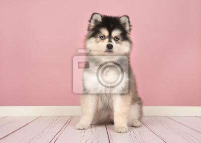 Mignon chiot pomsky assis et en regardant la caméra dans un cadre de studio rose salon