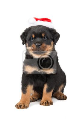 Mignon chiot rottweiler porter le chapeau de Santa isolé sur un fond blanc