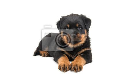 Mignon couchée rottweiler chiot regardant dans la caméra isolée à un fond blanc