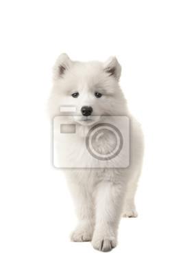 Mignon, debout, blanc, samoyé, chiot, vu, devant, regarder, appareil photo, isolé, blanc, fond