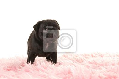 Mignon, debout, noir, pug, chiot, chien, regarder, haut, rose, fourrure, blanc, fond
