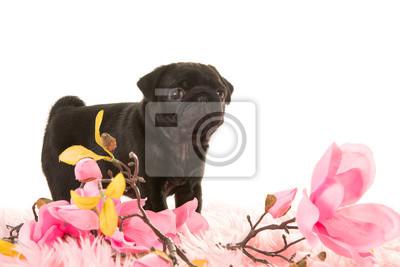 Mignon, debout, pug, chiot, vu, côté, rose, fourrure, rose, fleurs, blanc, fond