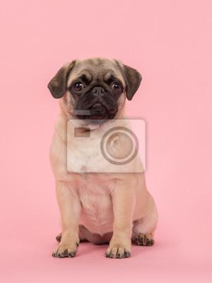 Mignon jeune chien pug assis regardant la caméra sur fond rose