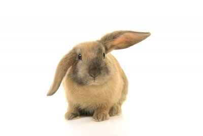Mignon jeune lapin brun vu de face isolé sur fond blanc