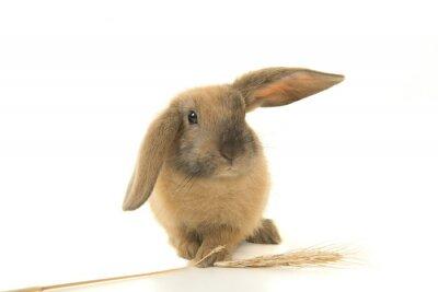 Mignon jeune lapin brun vu de face tenant une barre de blé isolée sur fond blanc