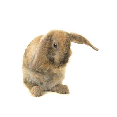Mignon jeune lapin brun vu de l'avant se toilettant isolé sur fond blanc