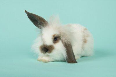 Mignon jeune lapin couché sur un fond bleu vu de face