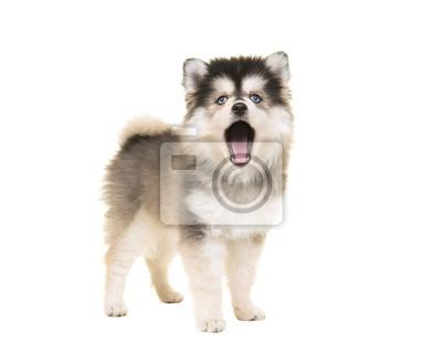 Mignon mini husky pomsky chiot avec la bouche ouverte comme parler ou chanter avec des yeux bleus isolé sur fond blanc