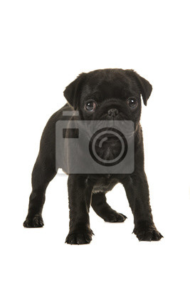 Mignon, noir, 6, semaines, vieux, pug, chiot, debout, faire face, appareil photo, isolé, blanc, fond