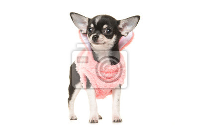Mignon, noir, blanc, Chihuahua, chiot, waring, rose, chandail, faire face, appareil photo, isolé, blanc, fond