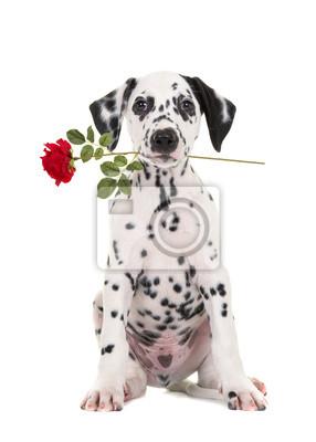 Mignon noir et blanc assis dalmatien chiot face à la caméra avec une rose rouge dans sa bouche isolé sur un fond blanc