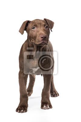 Mignon permanent chiot pitbull brun à un fond blanc